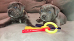 Cane Corso Puppy For Sale in MIAMI, FL, USA