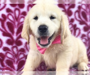 Golden Retriever Dog for Adoption in CLAY, Pennsylvania USA