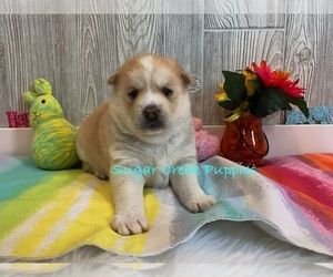Pomsky Puppy for Sale in DONNELLSON, Iowa USA