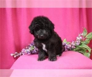 Poodle (Miniature) Puppy for sale in MIAMI, FL, USA