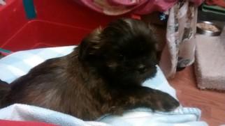 Shih Tzu Puppy For Sale in ENOSBURG FALLS, VT