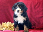 Bernese Mountain Dog Puppy For Sale in MOUNT JOY, PA, USA
