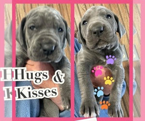 Great Dane Puppy for Sale in ALGONA, Iowa USA