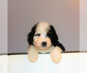 Bernedoodle Puppy for sale in CRESTON, OH, USA