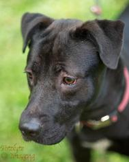 Tin Tin - Labrador Retriever / Shar Pei / Mixed (short coat) Dog For Adoption