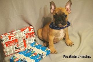 French Bulldog Puppy for sale in GREENVILLE, MI, USA