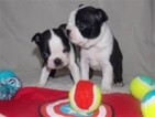 Boston Terrier Puppy For Sale in DALLAS, TX