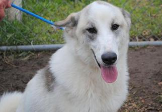 Akita-Husky Mix Dog For Adoption in Anniston, AL