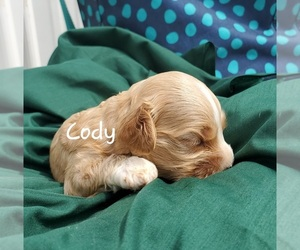 Cavapoo Dog for Adoption in COLBY, Wisconsin USA