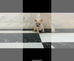 Small Photo #16 French Bulldog Puppy For Sale in LEAWOOD, KS, USA