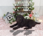 Puppy 5 Miniature Labradoodle