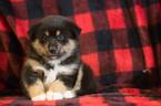 Pomsky Puppy For Sale in KENSINGTON, Ohio,
