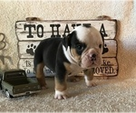 Puppy 6 Olde English Bulldogge