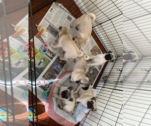 Pug Puppy for sale in HAZLET, NJ, USA