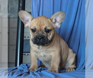 French Bulldog Puppy for sale in MORGANTOWN, PA, USA