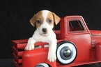 Jack Russell Terrier Puppy For Sale in AMITY, AR, USA
