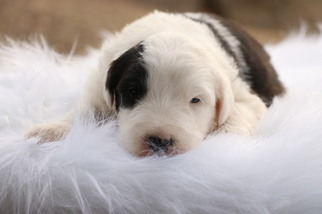 Old English Sheepdog Puppy For Sale in CHILLICOTHE, MO, USA