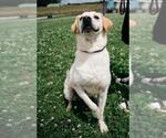 Small #691 Labrador Retriever Mix
