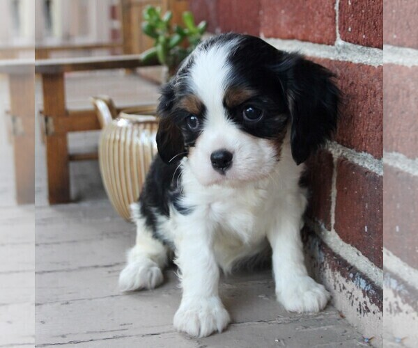 Medium Photo #5 Cavalier King Charles Spaniel Puppy For Sale in LANCASTER, PA, USA