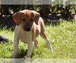 Small #33 Beagle