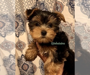 Yorkshire Terrier Puppy for sale in LEESBURG, AL, USA