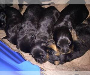 Rottweiler Puppy for sale in LANHAM SEABROOK, MD, USA