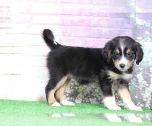 Mutt Puppy for sale in BEL AIR, MD, USA