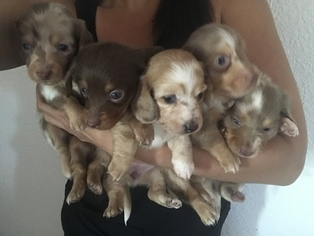 Dachshund Puppy For Sale in CO SPGS, CO, USA