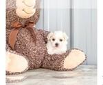 Maltese Puppy For Sale near 27013, Amity, NC, USA