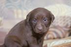 Labrador Retriever Puppy For Sale in LEETONIA, OH, USA