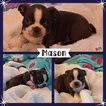 Boston Terrier Puppy For Sale in ODENVILLE, AL, USA