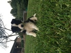 Border Collie Puppy For Sale in CENTRAL CITY, Kentucky,