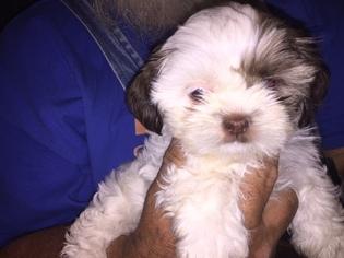 Shih Tzu Puppy for sale in NEWALLA, OK, USA