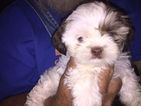 Shih Tzu Puppy For Sale in NEWALLA, OK