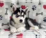 Small #13 Siberian Husky