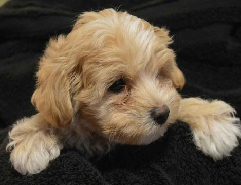 View Ad Maltipoo Puppy For Sale Louisiana Shreveport