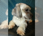 Small #4 Shih-Poo Mix