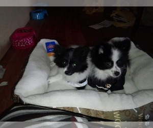 Mother of the Pomeranian puppies born on 07/25/2020