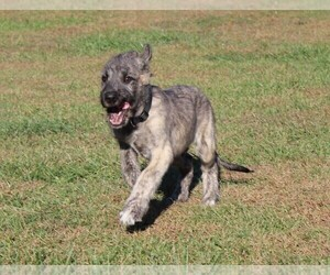 Irish Wolfhound Puppy for sale in KINGSTON, OH, USA