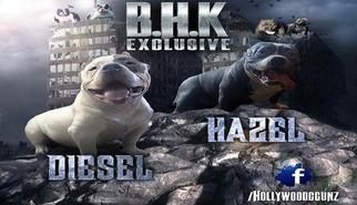 American Bully Puppy For Sale in WASHINGTON, DC