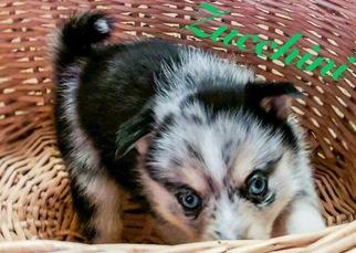 Premium Mini Pomsky Puppies ready for Christmas