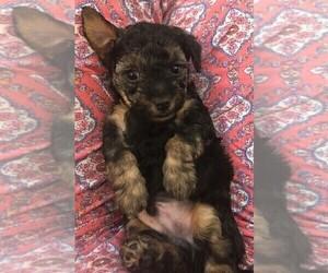 Yorkie-Poo-Yorkiepoo Mix Puppy for sale in AUSTIN, TX, USA