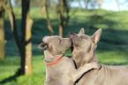 Thai Ridgeback Puppy For Sale in CLEMENTS, CA
