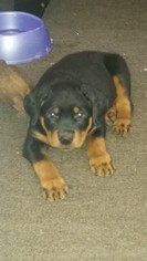 Rottweiler Puppy for sale in NEWVILLE, PA, USA