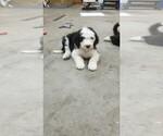 Puppy 1 Sheepadoodle