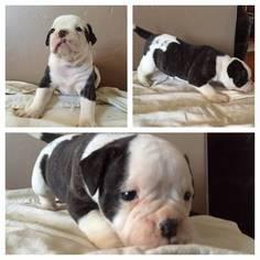 American Bulldog Puppy for sale in ACTON, CA, USA