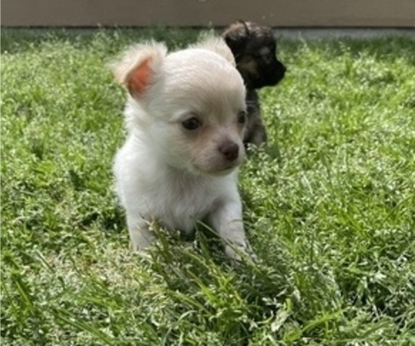 Medium Photo #9 Chihuahua Puppy For Sale in NEVADA, TX, USA