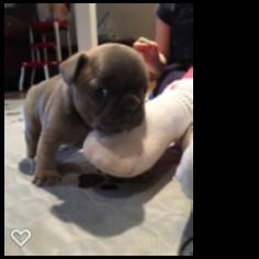 French Bulldog Puppy For Sale in CEDAR RAPIDS, IA