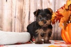 Lincoln Cuddly Little Male Yorkie Puppy