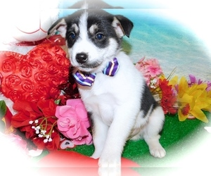 Eskijac Puppy for Sale in HAMMOND, Indiana USA